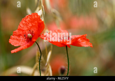 Detail of the corn poppy - Stock Photo