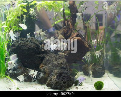 Beautiful planted aquarium with many fishes - Stock Photo