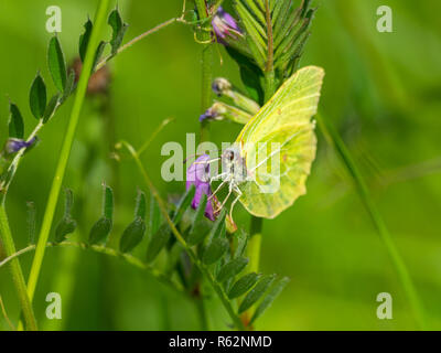 Brimstone Butterfly ( Gonepteryx rhamni ) on a plant. Wings closed. - Stock Photo