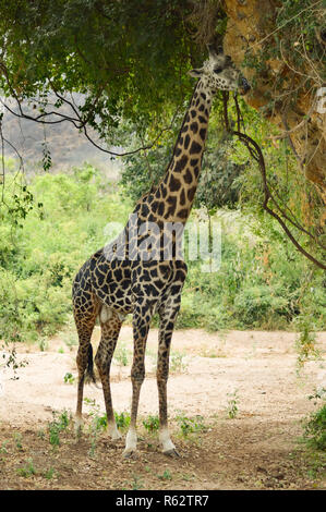 Giraffe eating leaves of a tree - Stock Photo