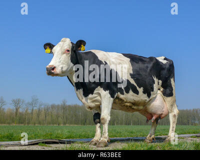 Black and white cow, breed of cattle Holstein Frisia with big full udders, on a path in a meadow with a blue sky. - Stock Photo