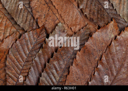 Abstract background with dry leaves of chestnut tree. - Stock Photo