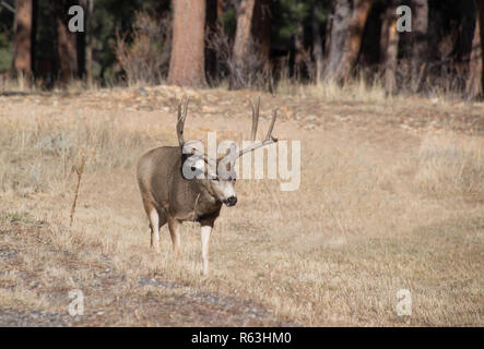 Buck mule deer bull with large antlers walking through golden field meadow in Rocky Mountains, Colorado, USA - Stock Photo