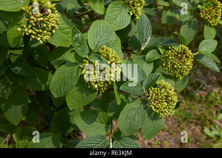 Viburnum lantana branches with fruit - Stock Photo