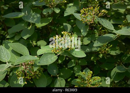 Viburnum lantana branches with fruit - Stock Photo