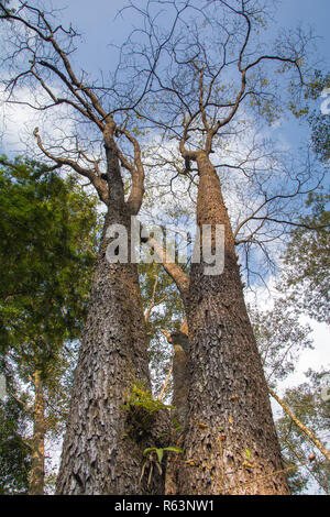 Tall trees look up from dense forest