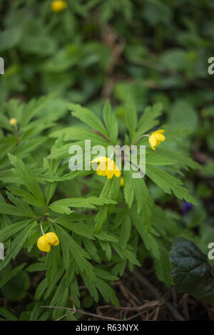 beautiful anemone ranunculoides flowers in the spring - Stock Photo