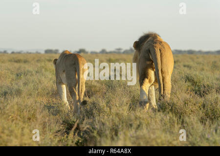 Lion (Panthera leo) pair walking together on savanna, prior to mating, seen from behind, Ngorongoro conservation area, Tanzania. - Stock Photo