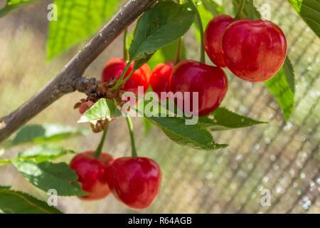 Prunus avium, Cherry Tree Fruit - Stock Photo