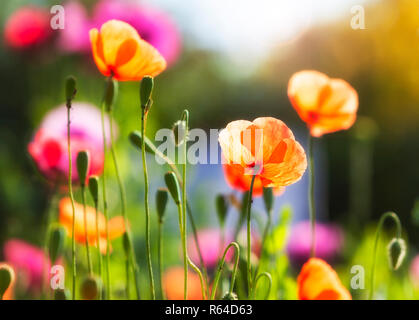 closeup of poppy blossoms in bright sunlight - Stock Photo
