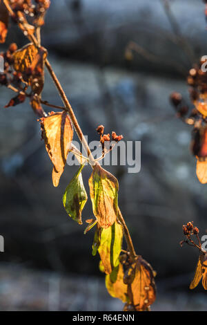 Close up of colorful autumn tree leaf in black forest, germany - Stock Photo