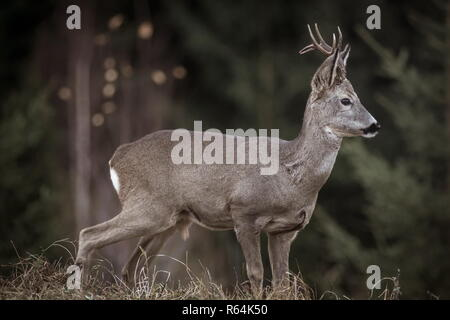 close up portrait of a beautiful male deer isolated  in the wild in Romania - Stock Photo