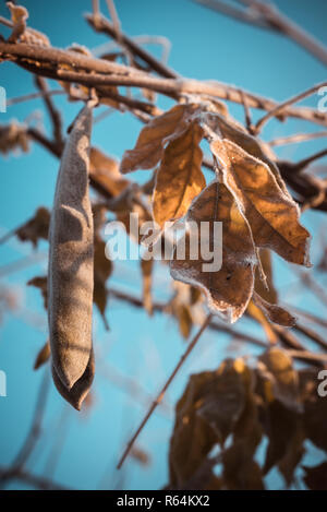 Vertical photo with vistarium plant. Plant has one legume and several dry brown leaves. Leaves and pod are covered by first winter frost and ice. Sky  - Stock Photo