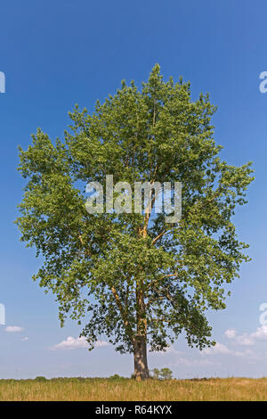 Black poplar (Populus nigra) tree in summer, species of cottonwood poplar native to Europe, southwest and central Asia, and northwest Africa - Stock Photo