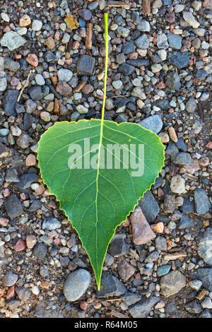 Black poplar (Populus nigra)fallen leaf on the ground in summer - Stock Photo