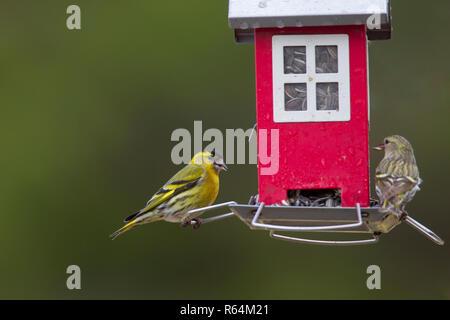 Eurasian siskins / European siskin / common siskin, (Spinus spinus) male and female eating sunflower seeds at bird feeder in garden in winter - Stock Photo
