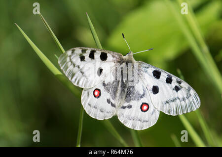 Mountain Apollo (Parnassius apollo) butterfly perched on grass stalk, native to alpine meadows and pastures of continental European mountains - Stock Photo