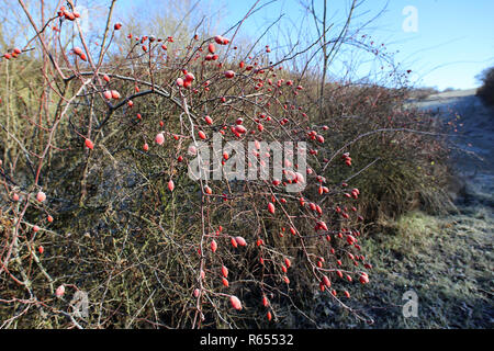 Red rose hips on bushes frosty morning - Stock Photo