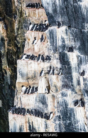 Brünnich's Guillemot, Uria lomvia, nesting cliffs at Cape Fanshawe, Spitsbergen, Svalbard, Norway. - Stock Photo