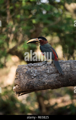 Chestnut-eared aracari on end of shady log - Stock Photo