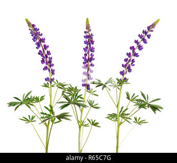 Purple Lupinus, commonly known as lupin or lupine. Isolated. - Stock Photo
