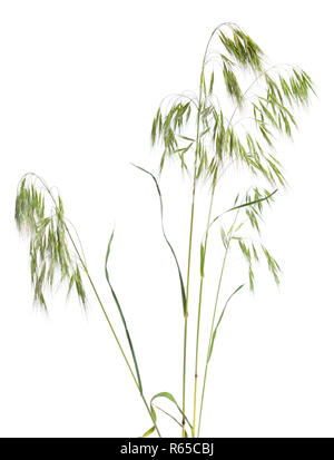 Bromus tectorum, known as drooping brome or cheatgrass. Isolated. - Stock Photo