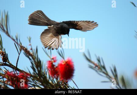 Willy Wagtail (Rhipidura leucophrys) seen here in flight is a passerine bird native to Australia. Western Australia. - Stock Photo