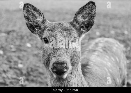 Portrait of a young doe posing outdoor in zoo. - Stock Photo
