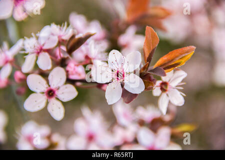 Spring Cherry blossoms on a branch pink flowers, on green natural or sky background - Stock Photo