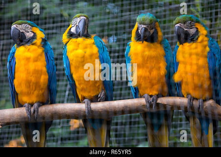 Blue and Yellow Macaw Parrots.