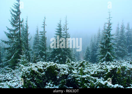 forest with fir-trees after the first snow in the year - Stock Photo