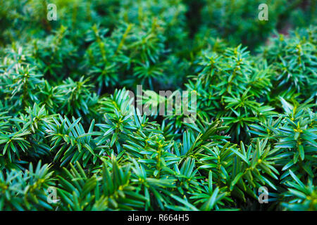 Vibrant green new growth on branches of yew - Stock Photo