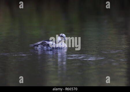 1st winter drake Smew - Stock Photo