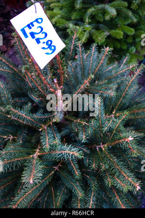 Price tag on a Christmas Tree on Display in a small florist shop in Dinnington, Rotherham, South Yorkshire, England - Stock Photo