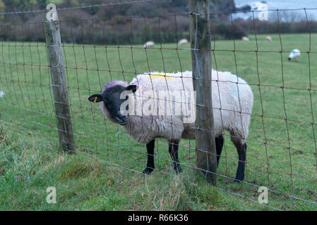 The Gotland sheep head stuck in a fence, Exmoor National Park, Devon UK - Stock Photo