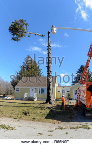 Somerset, Massachusetts, USA - March 31, 2015: Top of 60-foot Norway Spruce drops after being cut away from rest of trunk - Stock Photo