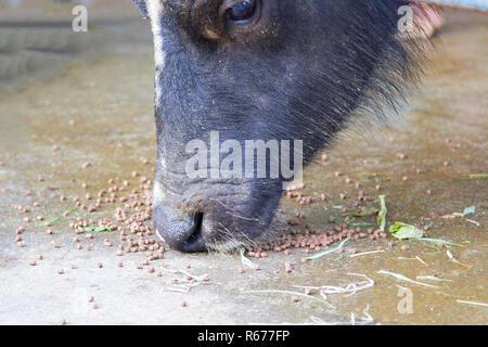 Buffalo eat food on the floor - Stock Photo