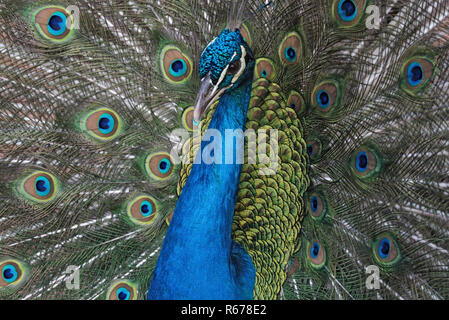 Portrait of an Indian peafowl or the blue peafowl - Stock Photo