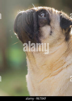 A portrait of a beautiful pug, only the head - Stock Photo