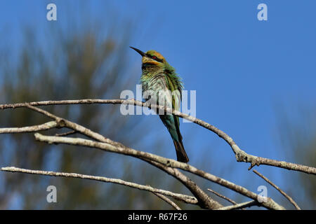 An Australian, Queensland Female Rainbow Bee-eater ( Merops ornatus ) perched on a tree branch with its feathers all fluffed up - Stock Photo