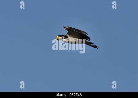 An Australian, Queensland Masked Lapwing ( Vanellus miles ) flying by - Stock Photo