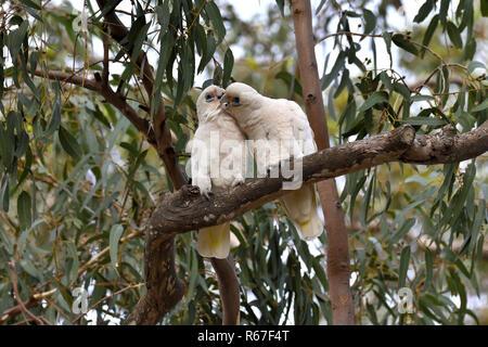 Two Australian, Queensland Little Corellas ( Cacatua sanguinea ) preening each other - Stock Photo