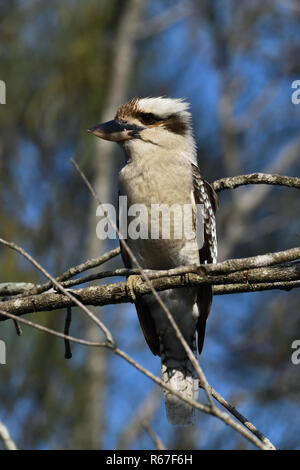 An Australian, Queensland Laughing Kookaburra ( Dacelo novaeguineae ) perched on a tree branch resting - Stock Photo