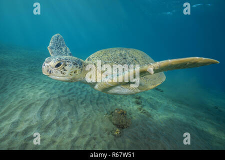Green Sea Turtle (Chelonia mydas) swims over sandy bottom in blue water, Red Sea, Abu Dabab, Marsa Alam, Egypt - Stock Photo