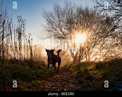 Wirksworth, Derbyshire Dales. 4th Dec 2018. UK Weather: Border Collie dog going for a walk off lead on a cold winter morning during a spectacular sunrise with cloud inversion above Wirksworth in the Derbyshire Dales, Peak District National Park Credit: Doug Blane/Alamy Live News - Stock Photo