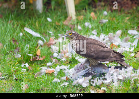 Bournemouth, Dorset, UK. 4th Dec 2018. Female Sparrowhawk, Accipiter nisus, attacks a pigeon dove for lunch in a Bournemouth garden. - Stock Photo