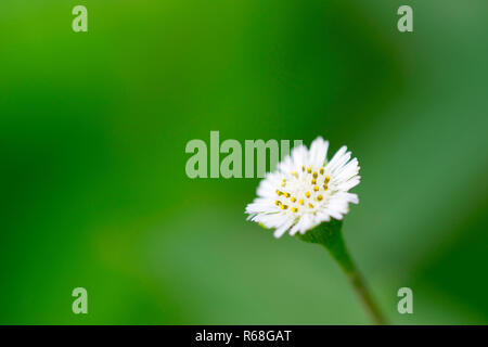 Small white flowers against a green background. - Stock Photo