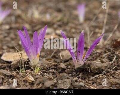 Pyrenean Merendera, Colchicum montanum, in flower in autumn in the Spanish Pyrenees. - Stock Photo