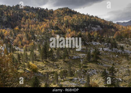 Mixed beech and pine forest on the Col de La Pierre St Martin, spanish (south) side. Pyrenees. Spain - Stock Photo