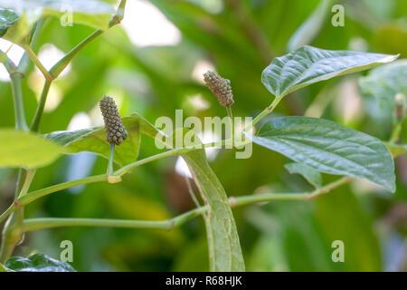Wild Betel Leafbush or Piper sarmentosum are herbal - Stock Photo